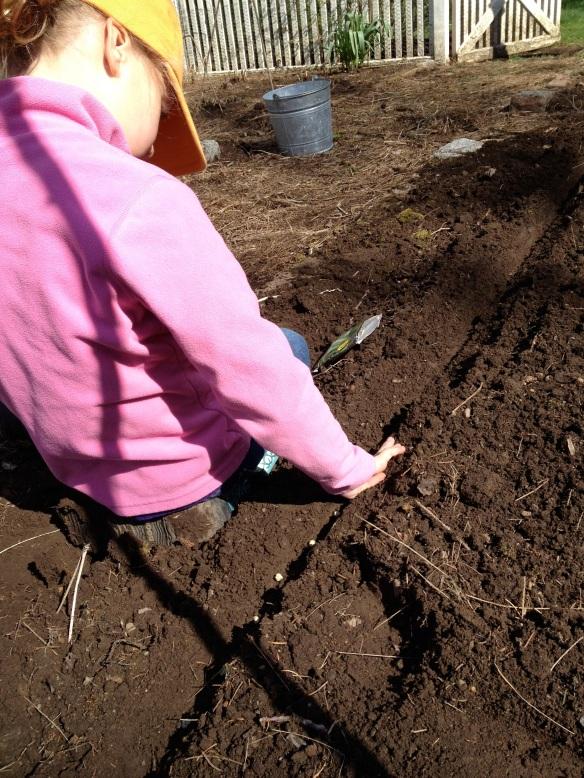 planting peas in garden