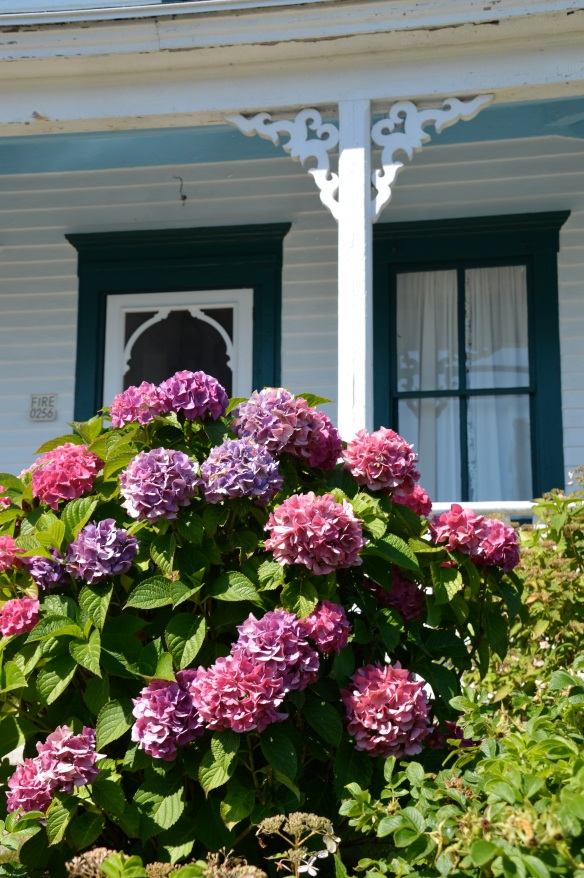 Hydrangeas + Victorian architecture = Very Block Island