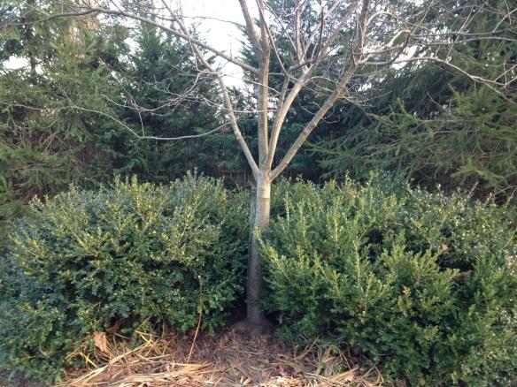 A half-circle of 'Green Velvet' boxwood surround a 'Prairie Fire' crab apple tree.