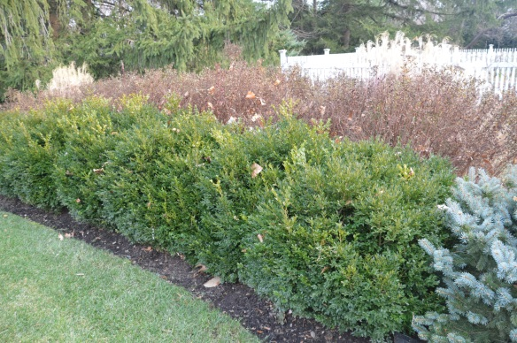 Boxwoods before open pruning . . .