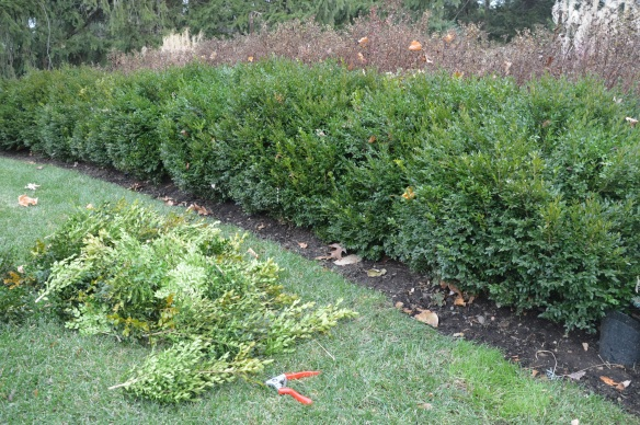 Boxwoods after pruning.