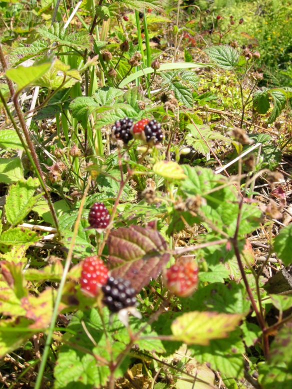 Wild Pacific Northwest blackberries; like finding treasure!