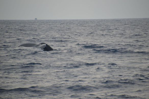 A family of humpback whales played alongside our snuba/snorkel boat.(Aqua Adventures)